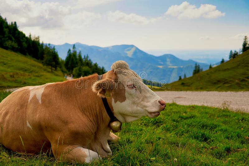 Cow on mountain pasture in the alps stock image