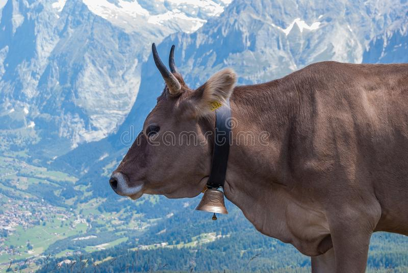 A cow on a mountain pasture in the Swiss Alps. close up royalty free stock photography