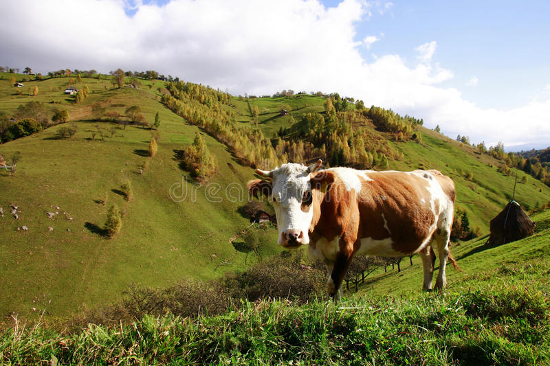 Cow in mountains pasture, Magura Village royalty free stock photography