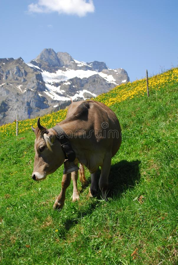 Cow in the mountains in Switzerland during May stock photography