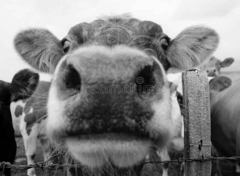 Cow Mouth 1 Stock Photos