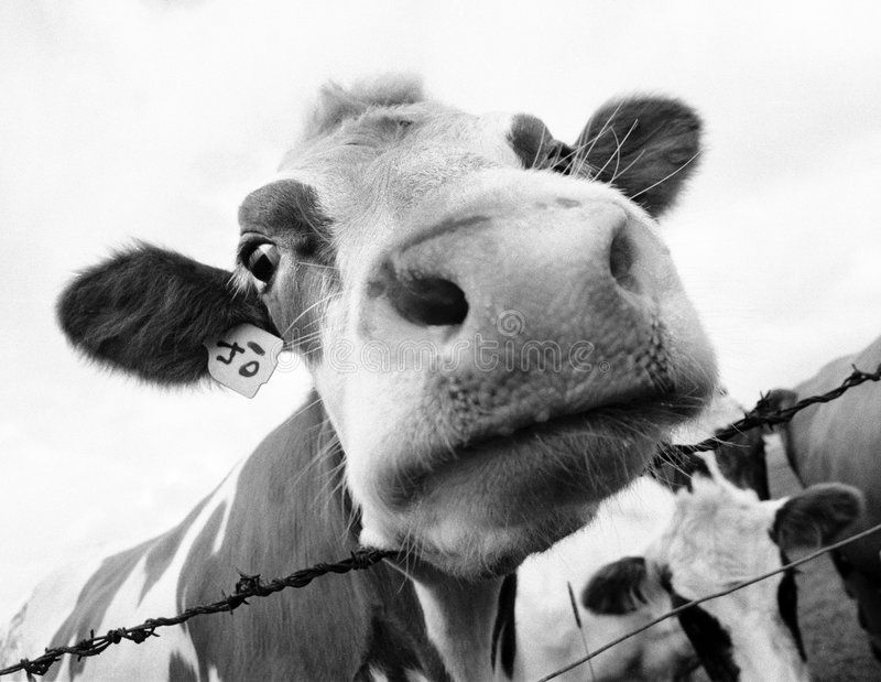Cow mouth 2. A funny picture of an Icelandic cow shot with a wideangle lens stock photo