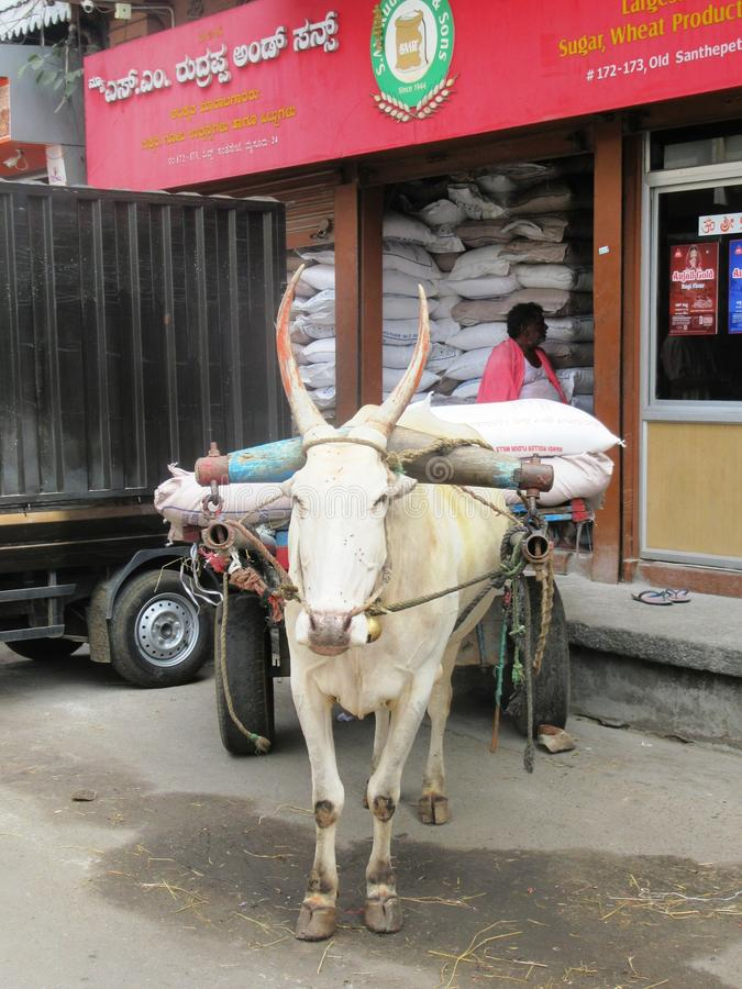 Cow in Mysore / South India royalty free stock photo