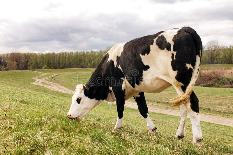 Cow in nature. Vilage Ivanovo in Vojvodina, Serbia stock photos