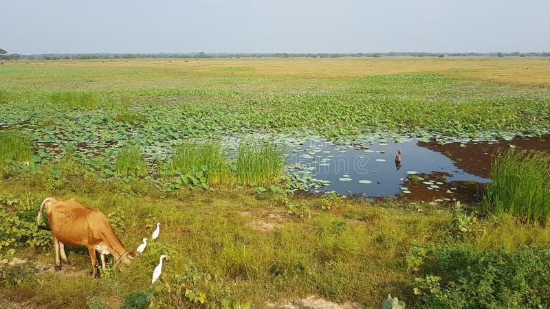 Cow near a lake in Srilanka stock photo