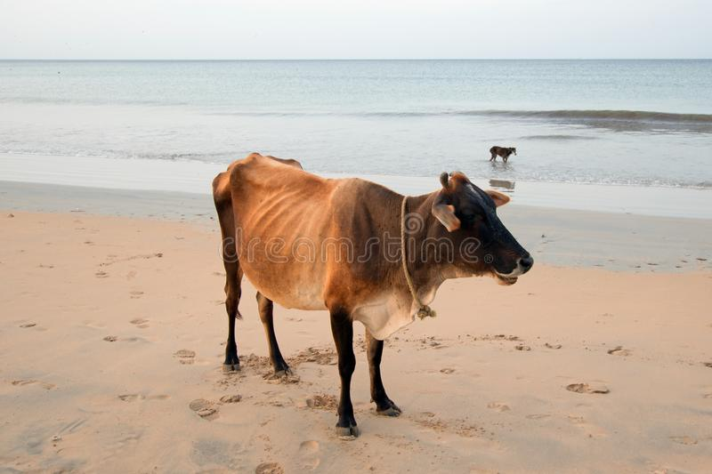 Cow on Nilaveli beach in Trincomalee Sri Lanka. Asia royalty free stock image