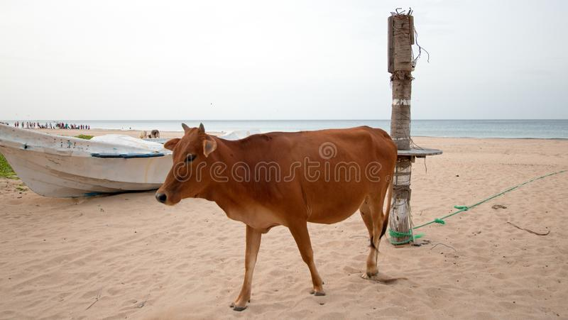 Cow on Nilaveli beach in Trincomalee Sri Lanka. Asia royalty free stock photo
