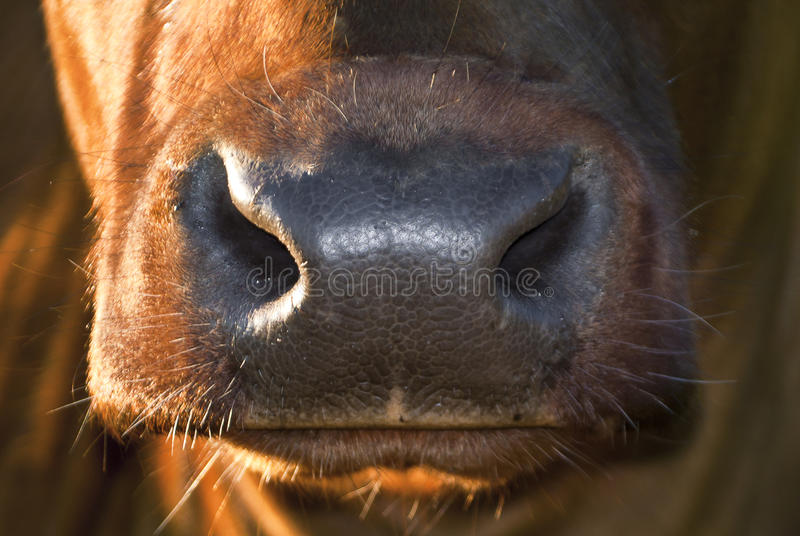 Download Cow nose stock image. Image of closeup, agriculture, cool - 21104641