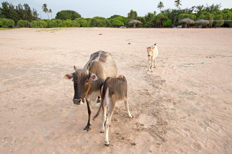 Cow nursing calf on Nilaveli beach in Trincomalee Sri Lanka. Asia royalty free stock images