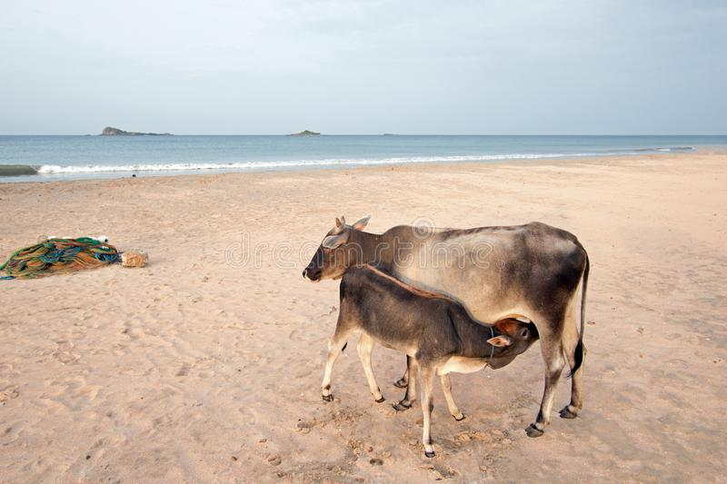 Cow nursing calf on Nilaveli beach in Trincomalee Sri Lanka. Asia stock photos