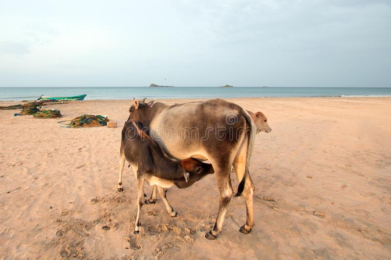 Cow nursing calf on Nilaveli beach in Trincomalee Sri Lanka. Asia royalty free stock photos