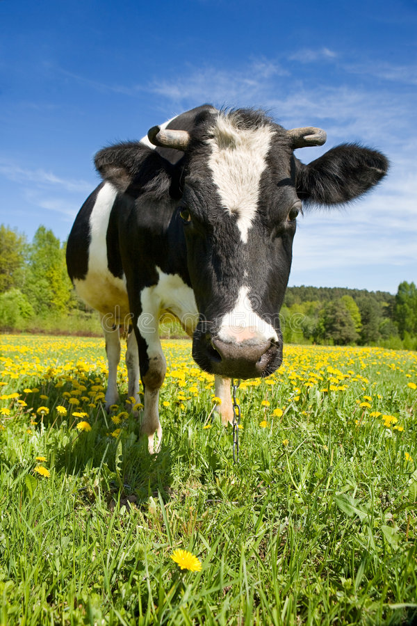 Free Cow On A Green Meadow Royalty Free Stock Photos - 4946988