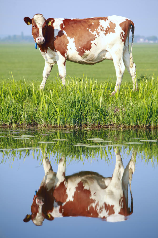 Free Cow On The Field Royalty Free Stock Photos - 19969158