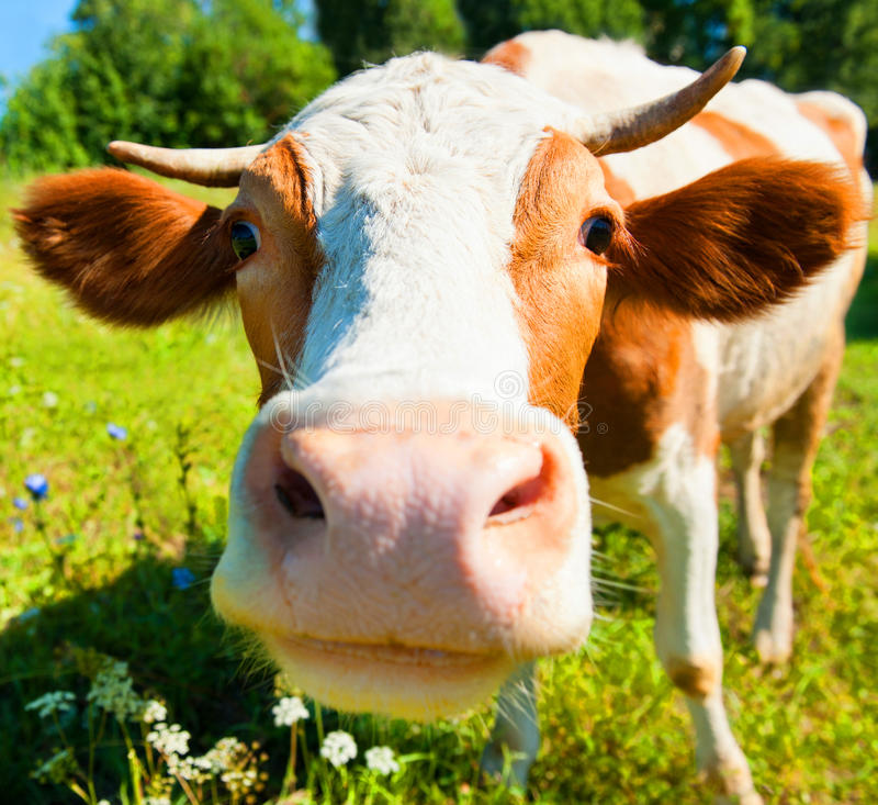 Free Cow On The Meadow In Summer Sunny Day Royalty Free Stock Images - 50435909