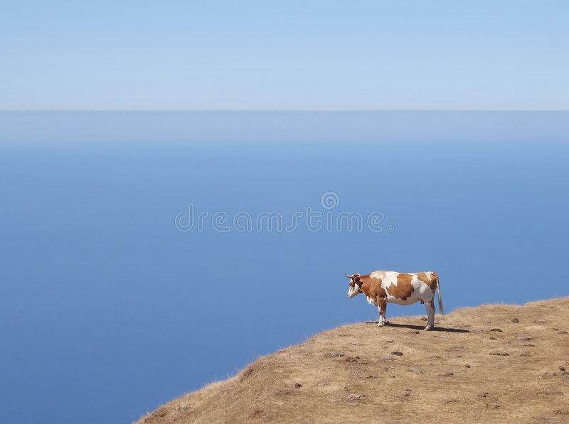 Cow on a cliff royalty free stock photos