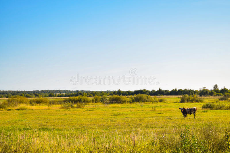 Cow paddock royalty free stock image