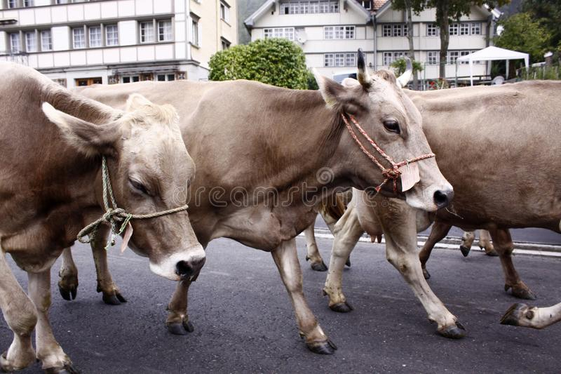 Download Cow parade stock photo. Image of switzerland, line, riet - 11166772