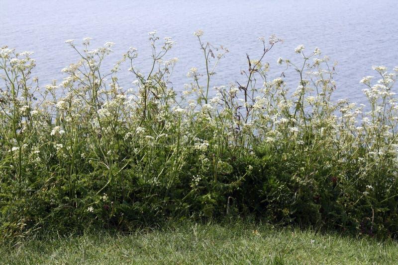 Download Cow parsley stock image. Image of bornholms, scandinavia - 25701227