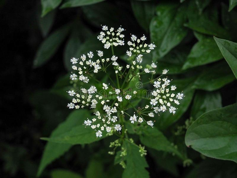 Cow parsley weed anthriscus sylvestris queen anne`s lace royalty free stock photos