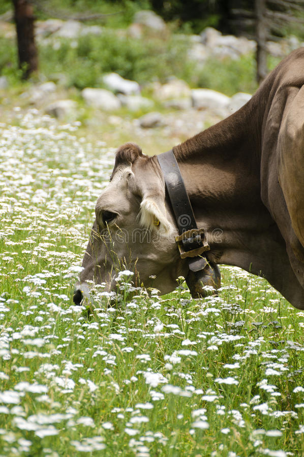 Cow in a pasture royalty free stock photo
