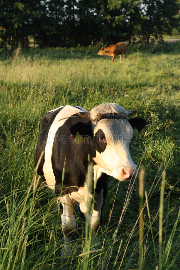 Download Cow on pasture stock photo. Image of calf, farm, farming - 25537622