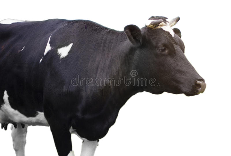 Download Cow In Pasture Stock Photos - Image: 26409773