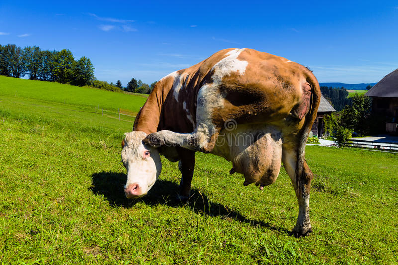 Download Cow on a pasture stock image. Image of producers, industry - 27340759
