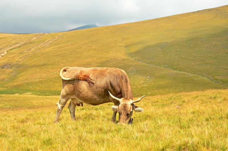 Download Cow on the pasture stock image. Image of beast, graze - 27886731