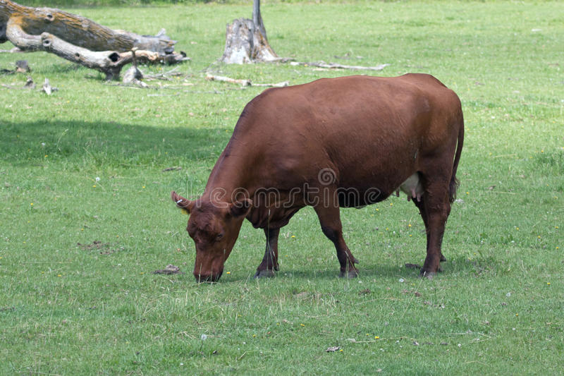 A Cow in a Pasture. Cow-calf operations are widespread throughout beef-producing countries, and the goal of a cow-calf operation is to produce young beef cattle stock image
