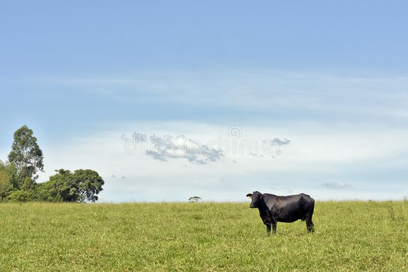 Cow on pasture and cloud  on sky. Cow on green grass pasture with trees and cloud  on blue sky. Sao Paulo state, Brazil stock image