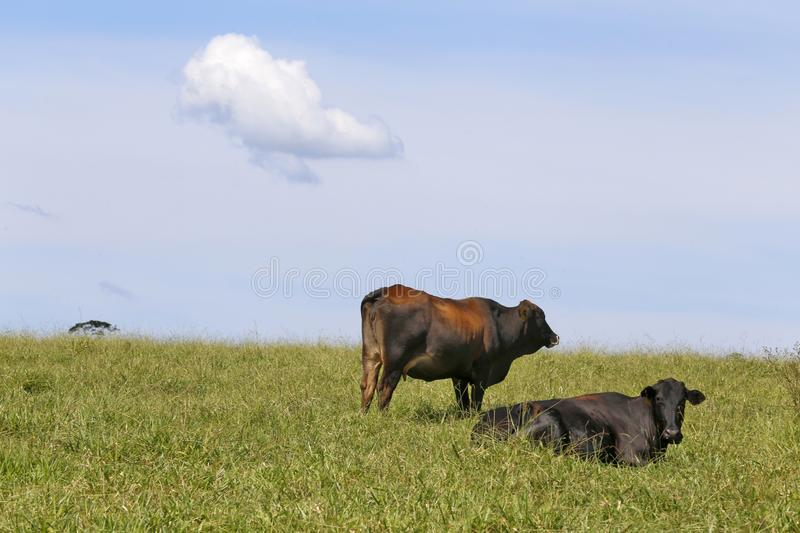Cow on pasture and cloud  on sky. Cow on green grass pasture with trees and cloud  on blue sky. Sao Paulo state, Brazil royalty free stock images