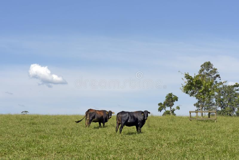 Cow on pasture and cloud  on sky. Cow on green grass pasture with trees and cloud  on blue sky. Sao Paulo state, Brazil royalty free stock image