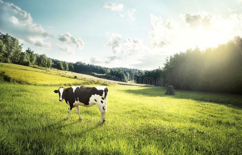 Cow pasture on a glade. Cow ecological pasture on a glade stock image