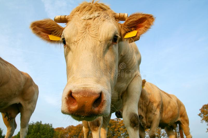 Cow in a pasture looking close up. White near head eyes snout netherlands holland dutch farm grass farmland meadow landscape sky dairy farming view europe field royalty free stock photo