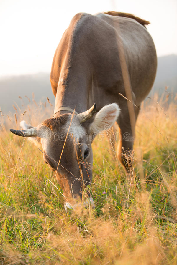Cow in a pasture in the mountains just before sunset. Brown cow in a pasture in the mountains just before sunset stock photos