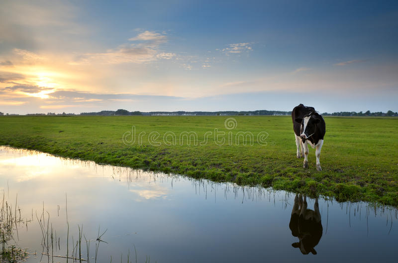 Cow on pasture at sunset reflected in river royalty free stock photo