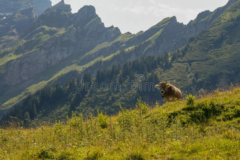 A single cow in pasture. An only cow in pasture in the Swiss mountains royalty free stock image