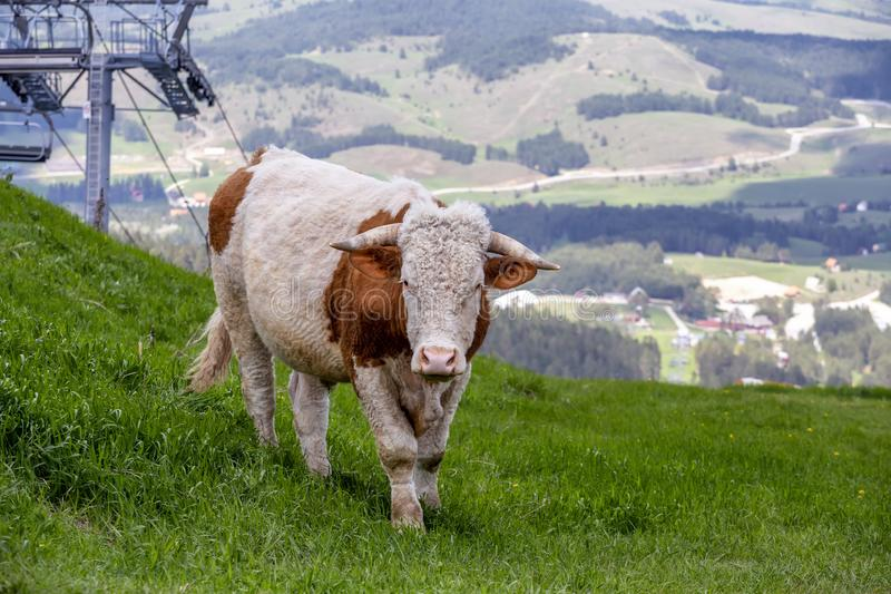 Cow in pasture. On the top of mountain Tornik at Zlatibor, Serbia royalty free stock photo