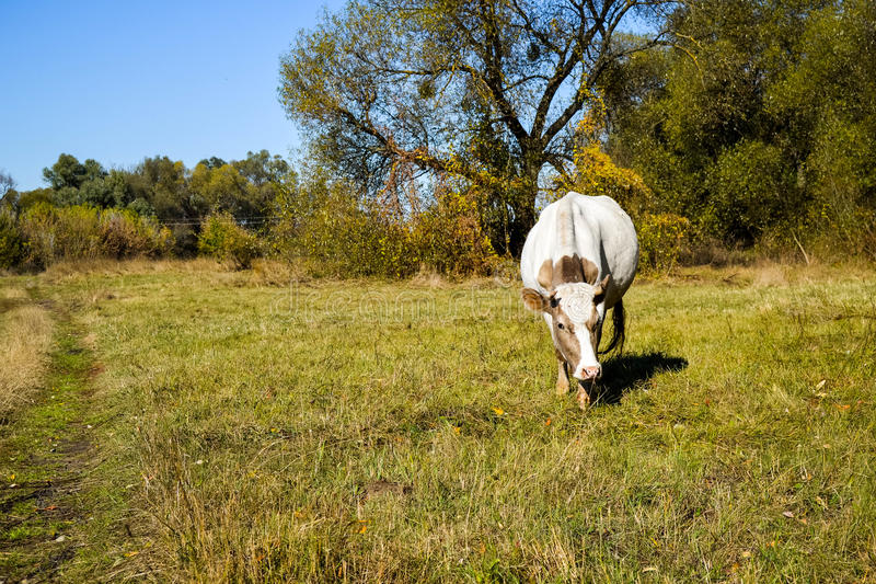 Cow in a pasture stock photography
