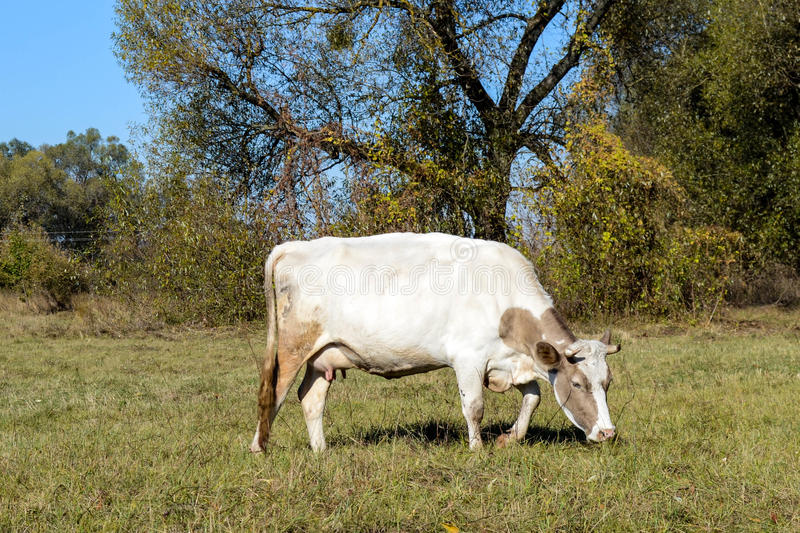 Cow in a pasture royalty free stock photography