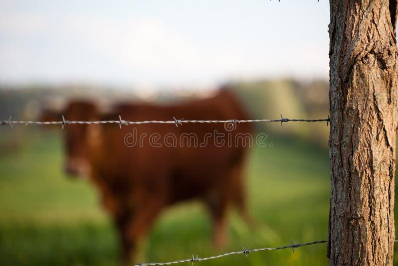 Cow pasturing