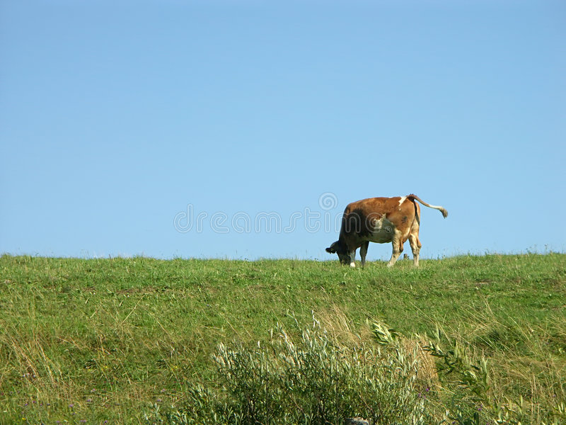Download Cow pasturing stock photo. Image of single, clear, pasture - 210832