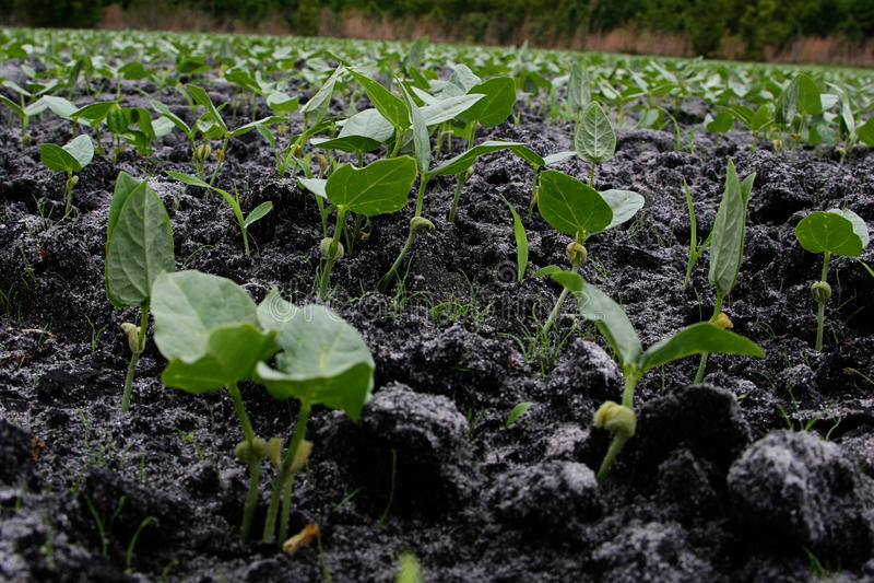 Download Cow-pea stock photo. Image of soil, plant, farm, dirt - 17926296