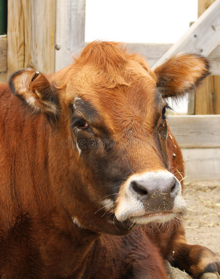 Download Cow portrait stock photo. Image of trees, milk, milka - 24217338