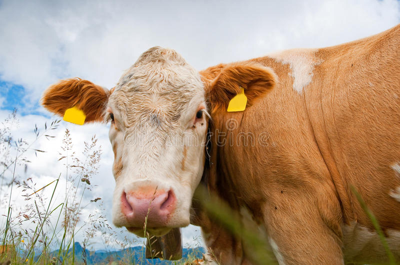 Download Cow portrait stock photo. Image of ranch, farming, face - 25737266