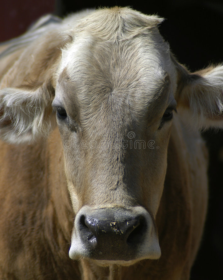 Download Cow Portrait stock image. Image of cowbell, horns, calves - 32319