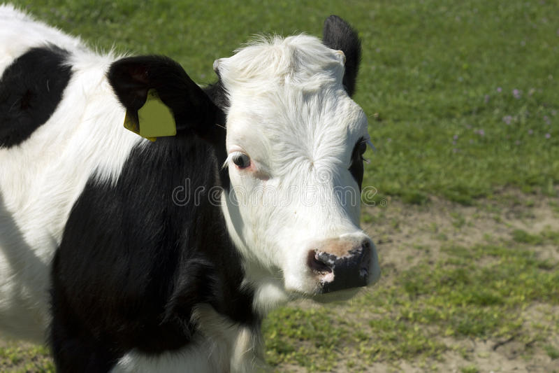 Cow portrait. Cow from the village Ivanovo in Serbia stock photography