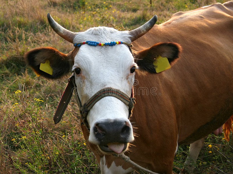 Cow portrait with yellow tags
