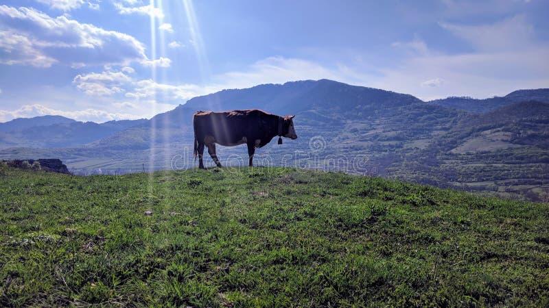 A cow posing for my picture , in transylvania, romania, next to rimetea stock photography