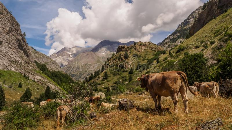 Cow in the Pyrenees in Spain. landscape mountains and nature stock photography